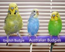 Australian Budgie Vs English Budgie