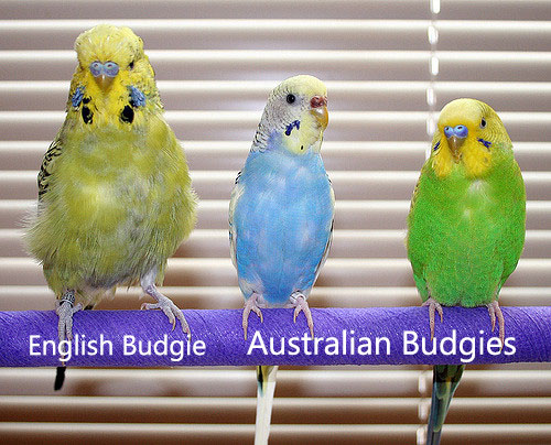 Australian Budgie Vs English Budgie - Petsoholic