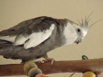 Cockatiel Perches