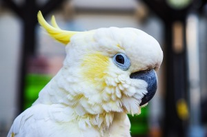 كيف-تختار-الحيوان-الأليف-المناسب؟ - ببغاء الكوكاتو - Petsoholic