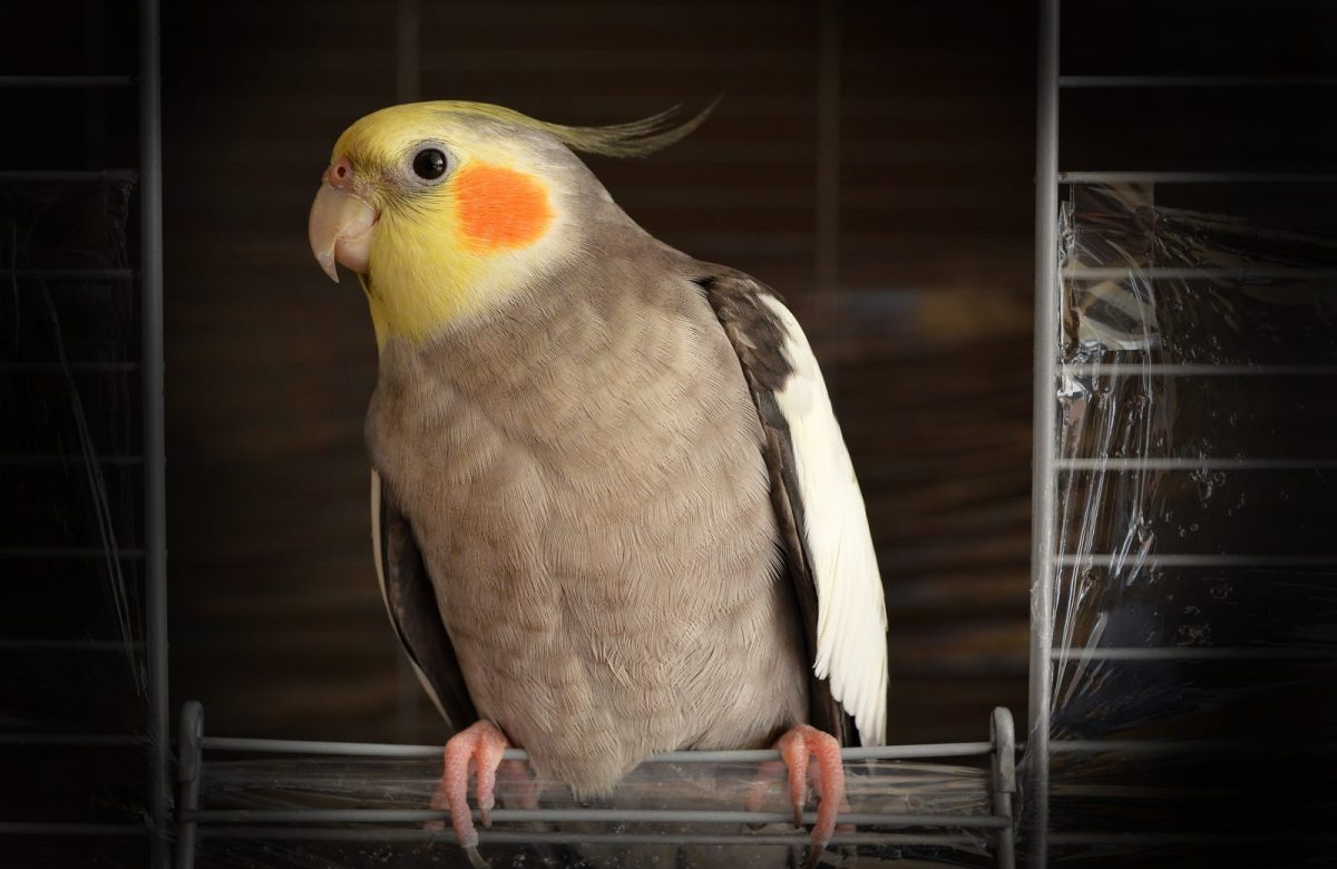 Cockatiels Care_Petsoholic