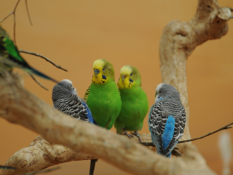 Budgies care 101_petsoholic