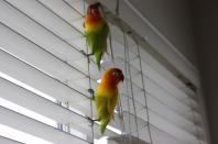 lovebirds-pettsoholic_Bird's first day home