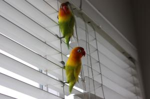 lovebirds-pettsoholic_Bird's first day home