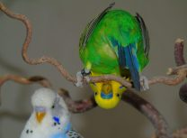 تربية و رعاية طائر البادجي - petsoholic