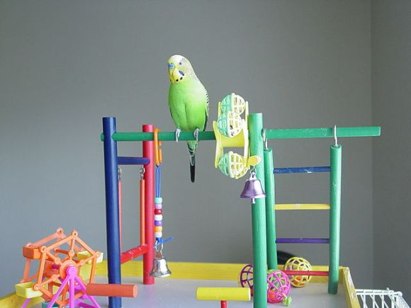 Budgies toys